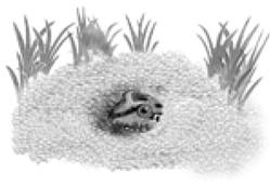 rana-criolla-2