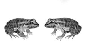 rana-criolla-3